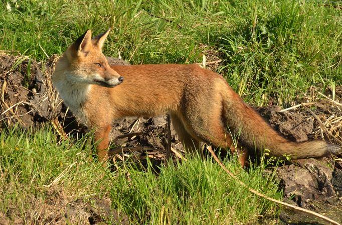 Αποτέλεσμα εικόνας για Πρόγραμμα ενεργητικής επιτήρησης της λύσσας: