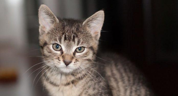 9a76c9d04511 Οι κατοικίδιες γάτες μπορούν να αναγνωρίσουν το όνομα τους και να το  διακρίνουν από τα ονόματα άλλων γατών και από άλλες λέξεις