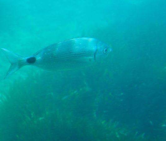 Ρόδος  ¨Ερευνα για τα ξενικά είδη στη θάλασσα της Ρόδου 301a79ef615